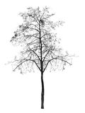 Bare tree without leaves. deciduous tree. Isolated over white background. silhouette autumn tree royalty free stock photo