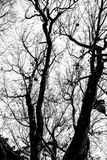Bare tree limbs in black and white. Bare tree limbs on trunk against overcast skies in black and white Stock Photos