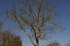 Bare tree. Naked spring tree lit bright sun Royalty Free Stock Images