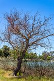 Bare tree with no leaves in winter afternoon royalty free stock photography