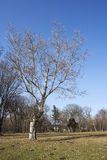 Bare tree. In the park Stock Images