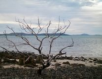 A bare tree on a pebbly beach. A leafless tree stands on a deserted beach. It is surrounded by pebbles and some sand. Across the water are some hills. The sky stock image