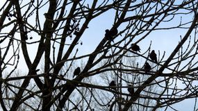 Bare Tree Sheltering Birds During Winter. A bare tree shelters a group of birds during winter Stock Photo