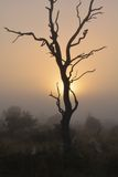 Bare tree silhouetted against morning sun Kruger Park South Africa. Bare tree silhouetted against early morning clouds and sun in Kruger National Park, South Royalty Free Stock Photography