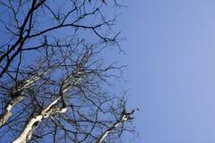 Bare tree and sky Royalty Free Stock Photo