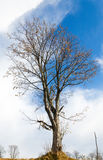 Bare tree on sky background Stock Image