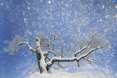 Bare tree in snow Royalty Free Stock Photo