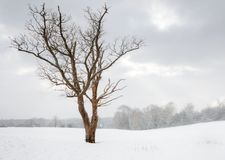 Bare tree in a snow covered landscape. Bare tree in a field during heavy snow Royalty Free Stock Images