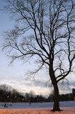 Bare tree in a snowy winter park at dusk Royalty Free Stock Photography