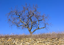Bare tree stands behind a dry wall Royalty Free Stock Photography