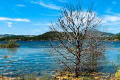 A bare tree on a summer morning by the lake. Landscape of a lake in the summer, with clear water and a bare tree Royalty Free Stock Images