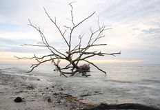 Bare tree on sunset sea. Bare tree on a shore in sunset Royalty Free Stock Images