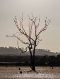 Bare tree in a swamp with birds sitting on branches. Kangaroo Is Royalty Free Stock Images