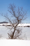 Bare tree trunk and branches against winter blue sky and white snow at pond edge Stock Photos