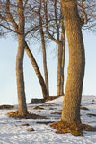 Bare tree trunks Stock Photo