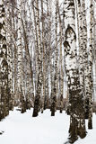 Bare tree trunks in birch grove Royalty Free Stock Photography