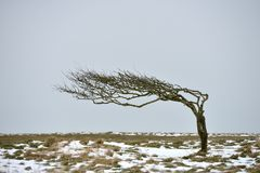 Bare tree. Windswept bare tree on the South Downs in winter royalty free stock image