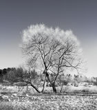 Bare tree in winter Stock Image