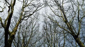Bare trees Stock Images
