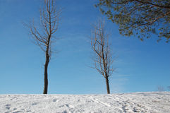 Bare trees. And pine in winter.  Canada Royalty Free Stock Photos
