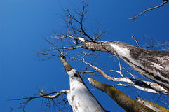 Bare trees. Raising towards a deep blue sky on the background royalty free stock images