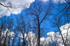 Bare trees. Against the blue sky Royalty Free Stock Photography