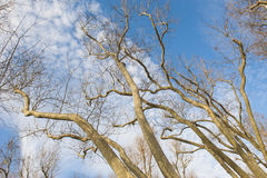 Bare trees against a blue sky background Stock Photo