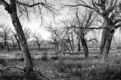 Bare trees in black and white. Bare dead trees landscape in gloomy winter weather Royalty Free Stock Photos