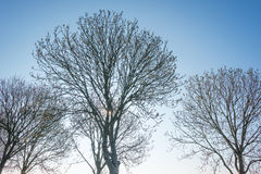 Bare trees in a blue sky at sunrise Royalty Free Stock Images