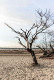 Bare trees and bushes in dunes of drifting sands Royalty Free Stock Photo