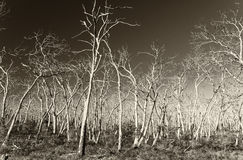 Bare Trees in Cape Otway, Great Ocean Road, Australia Royalty Free Stock Photography