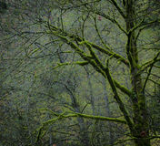 Bare trees covered in bright green moss Royalty Free Stock Images