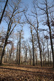 Bare trees & Dead leaves. Bare trees and dead leaves with empty shade Royalty Free Stock Image
