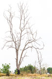Bare trees die. Royalty Free Stock Photo