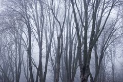 Bare trees in the fog. The dark forest in a misty morning. Gothic composition of nature royalty free stock photography