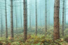 Bare trees forest. With fog royalty free stock image