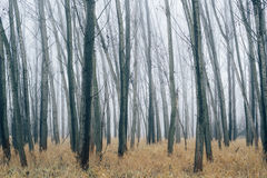 Bare trees in forest on misty winter morning Royalty Free Stock Photo