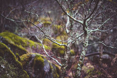 Bare trees in the forest with stones Royalty Free Stock Photography