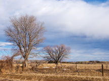Bare Trees in a Golden Field Royalty Free Stock Images
