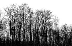 Bare trees isolated on white background. Monochrome silhouette photo Stock Photo