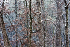 Bare Trees in Light Snow Royalty Free Stock Photo