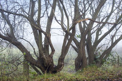 Bare trees in morning fog UK Royalty Free Stock Image