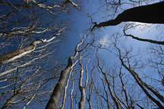 Bare trees reaching for the deep blue sky Royalty Free Stock Images