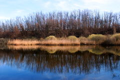 Bare trees reflecting in a pond. In winter Royalty Free Stock Image