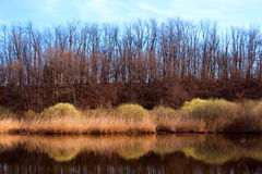 Bare trees reflecting in a pond. In winter Royalty Free Stock Photo