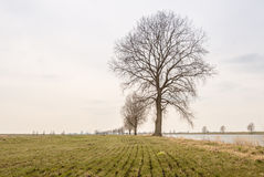 Bare trees in a row Stock Image