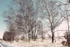 Bare trees in the snow / Rural winter landscape /. Birches in the snowy field stock photo