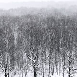 Bare trees in snowfall in forest in winter. Bare trees in snowfall in forest in cold winter day Royalty Free Stock Photo