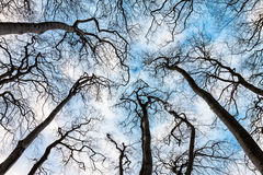 Bare trees. Some bare trees with blue sky Stock Photo