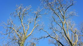Bare Trees Sway In Winter Breeze. Large bare trees in the winter swaying in the wind stock footage